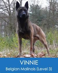 belgian malinois for sale personal protection dogs for sale police trained malinois