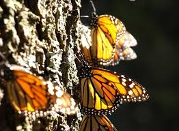 esciencecommons mystery of monarch migration takes new turn