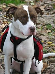 jack russell american pitbull terrier mix guardian pet services photo gallery