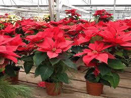 Pointsettia Poinsettia Care Parkview Gardens Florist U0026 Greenhouses