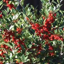 Flowering Privacy Shrubs - the best screening shrubs for houston
