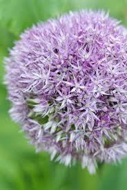 find flowering bulbs for all seasons and regions