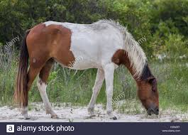 Maryland wild animals images Chincoteague ponies wild or feral horses of assateague island jpg