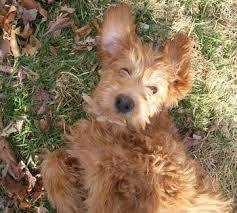 goldendoodle puppy virginia 8 best doodles images on puppies breeders and doodles