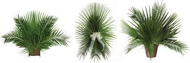 palm leaves for palm sunday palm arrangements large jpg
