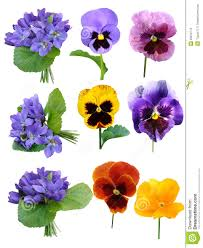 picture of violets flowers bbcpersian7 collections