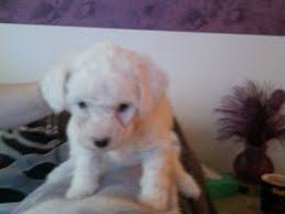 ozzie a bichon frise bichon frise dogs and puppies for sale in manchester pets4homes