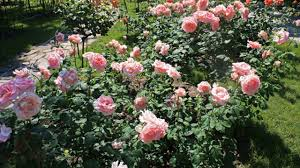 know the cultivation and beauty of climbing roses landscape