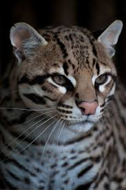 wild cat breeds cat breeds encyclopedia