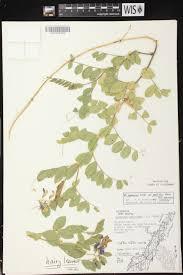 Map Of Door County Wisconsin by Online Virtual Flora Of Wisconsin Lathyrus Japonicus