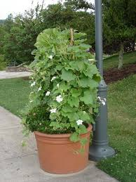 Container Gardening Peas - container inspiration gallery bonnie plants
