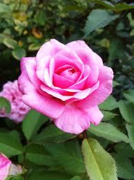 native plants of louisiana belindas dream rose google search texas native plants