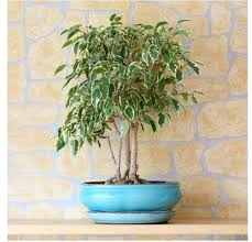 Decorative Trees In India A Z List Of House Plants Common And Scientific Names