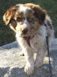 australian shepherd dog for sale australian shepherd smart working dog labs dog and animal