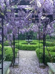 wisteria sinensis australian bush flower wisteria sinensis u0027blue sapphire u0027 giardinaggio pinterest