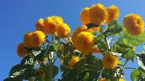 teddy sunflowers teddy sunflower seeds ebay