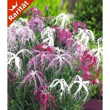 winterharte pflanzen balkon dianthus geisha 3 pflanzen baldur garten gmbh
