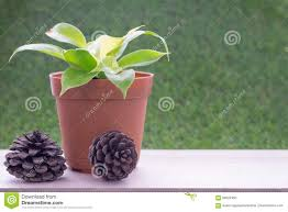 small plant in flower pot and dry pine tree fruit stock photo
