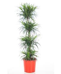 buy house plants now dracaena u0027anita u0027 bakker com