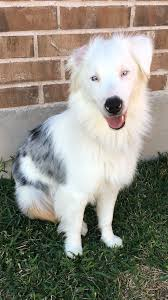 australian shepherd double merle sam u2013 adopted u2013 deaf dogs rock