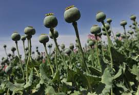 pyramid tour guides turn to opium farming as visitors shun egypt