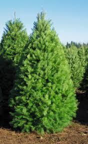 douglas fir christmas tree christmas tree lot