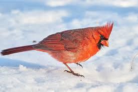 birds of new york northern cardinal