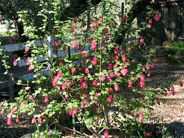 santa barbara native plants ribes sanguineum red flowering currant spring part shade ca