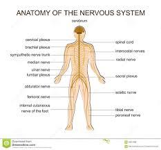 Human Anatomy Diagram Download Human Anatomy Nervous System Human Anatomy Diagram Free Virtual
