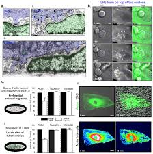 probing the biomechanical contribution of the endothelium to