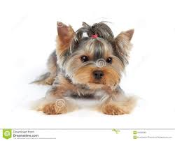 100 yorkie haircuts pictures different yorkie haircut