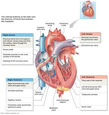 Heart Anatomy And Function The Cardiovascular System Heart