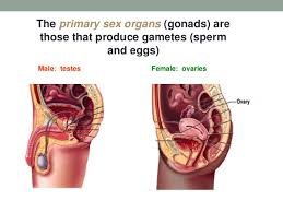 Female Clitoris Anatomy   Human Anatomy Diagram The Human Female Reproductive System