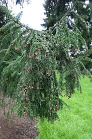 meet 12 spruce trees and shrubs