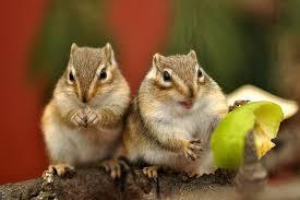 gabbie scoiattoli la riproduzione tamia formazione e alloggio della coppia