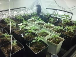 chauffage pour chambre de culture erreurs fréquentes dans la culture du cannabis du growshop