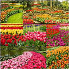 keukenhof flower gardens tulips collage keukenhof flower park holland netherlands