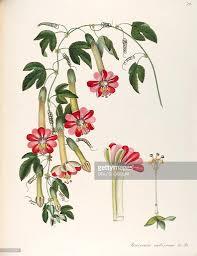 banana passionfruit passifloraceae climbing shrub native to the