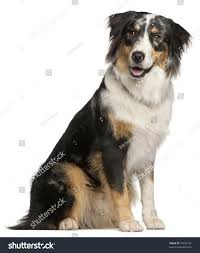 australian shepherd 9 months old border collie 9 months old sitting stock photo 79922167 shutterstock