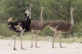 common ostrich wikipedia