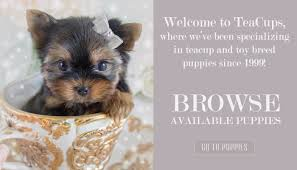 teacup puppies for sale at teacups puppies and boutique