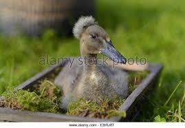 duck box stock photos duck box stock images alamy