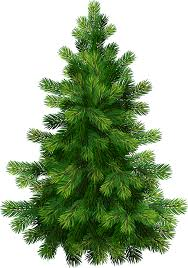 white pine christmas tree care christmas lights decoration