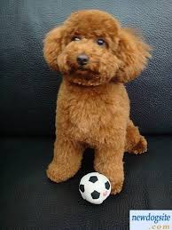 bichon frise uae 21 best pets images on pinterest standard poodles animals and dog