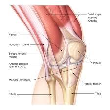 Anatomy Of The Knee Consumer Editorial Biomedical Art By John W Karapelou Cmi