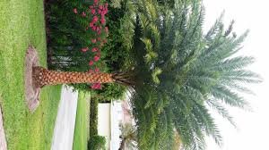 sylvester date palm tree no worries property maintenance sylvester palm installation