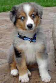 mini australian shepherd 5 months happy national dog day from cowpoke corner kennels we celebrated