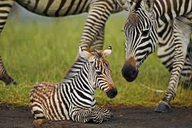 7 fun facts about zebras