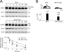 involvement of caveolin in probucol induced reduction in herg
