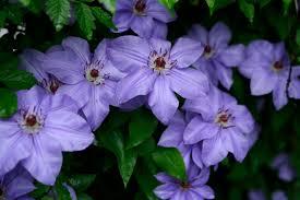 Beautiful Flowers File Beautiful Flowers Clematis Blue Jpg Wikimedia Commons